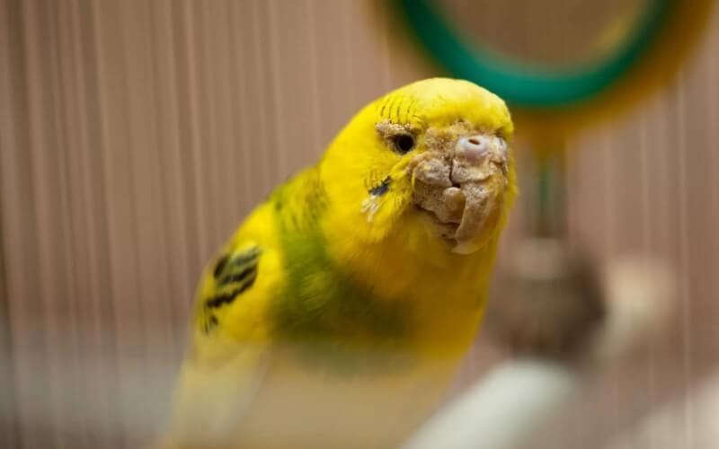 Клещи у попугаев как вылечить