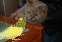 Что делать если попугая схватила кошка
