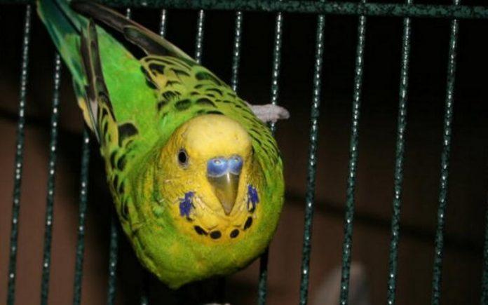 Простуда у попугаев симптомы и лечение