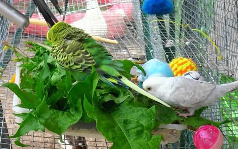 Конопля для волнистых попугаев могут ли посадить за коноплю