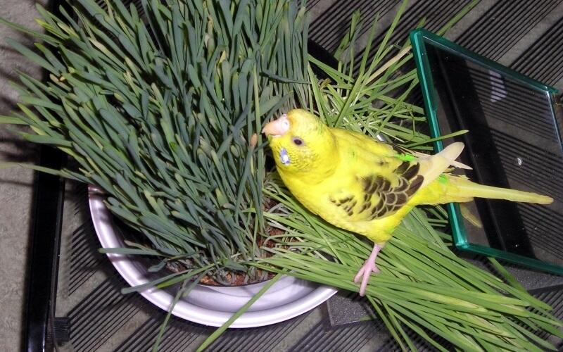 Попугай ест зелень