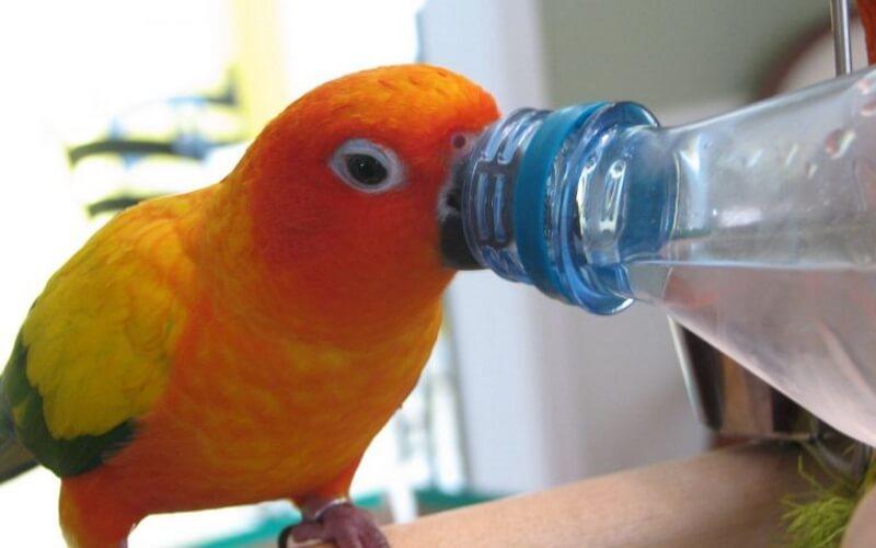 Вода для волнистого попугая