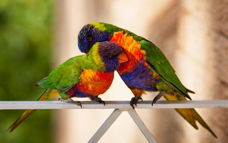 Австралийские травяные попугайчики