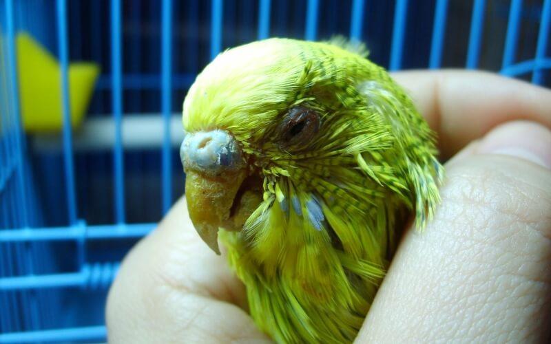 Чесоточный клещ у волнистых попугаев вторая стадия