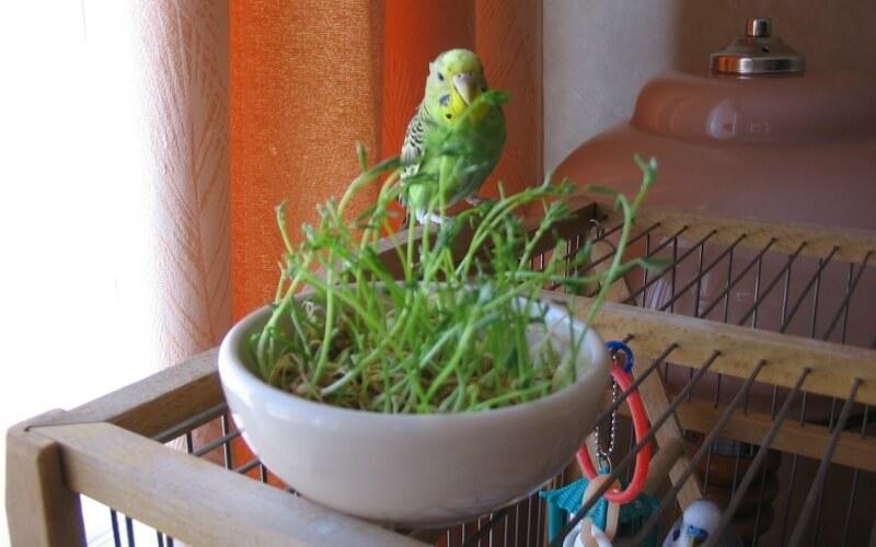 Попугай ест травку
