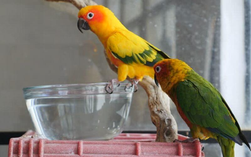 Волнистый попугай пьет