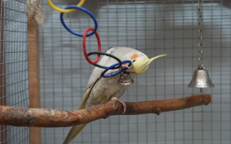 Как сделать жердочки для попугаев 163