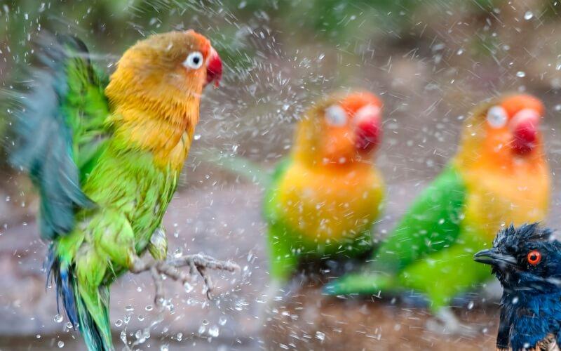 Вода в рационе волнистого попугая