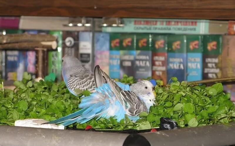 Волнистый попугай купается в листьях салата