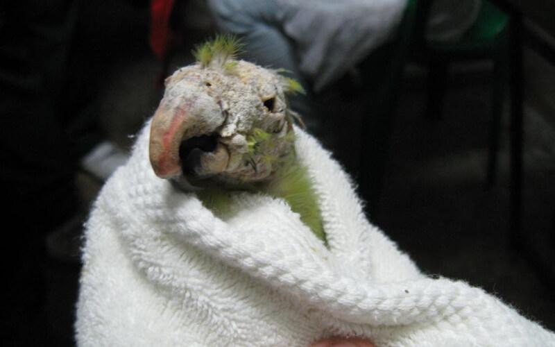 Чесоточный клещ у волнистых попугаев четвертая стадия