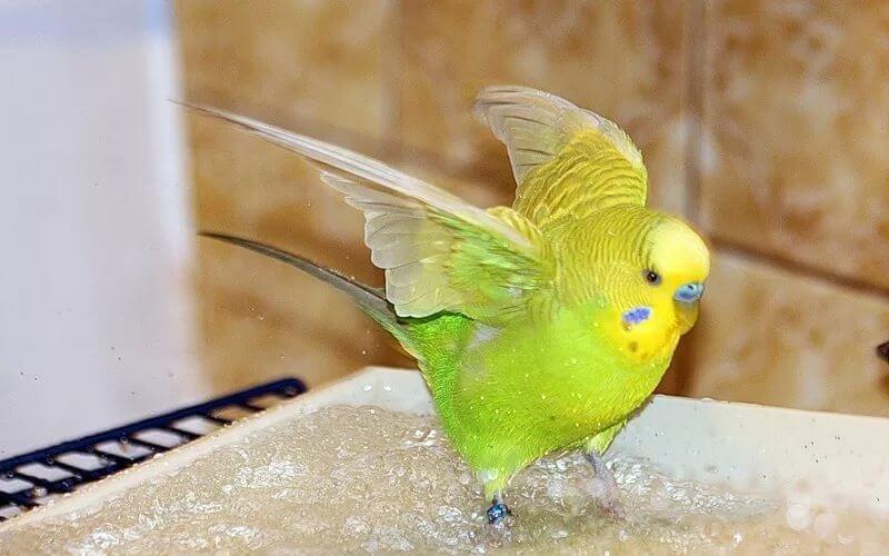 Волнистые попугаи моются
