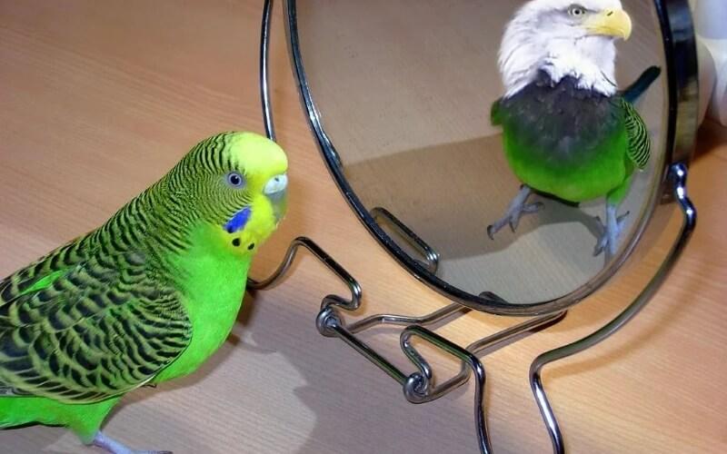 Зеркало для волнистого попугая