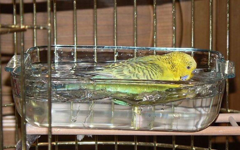 Как сделать купальню для волнистого попугая